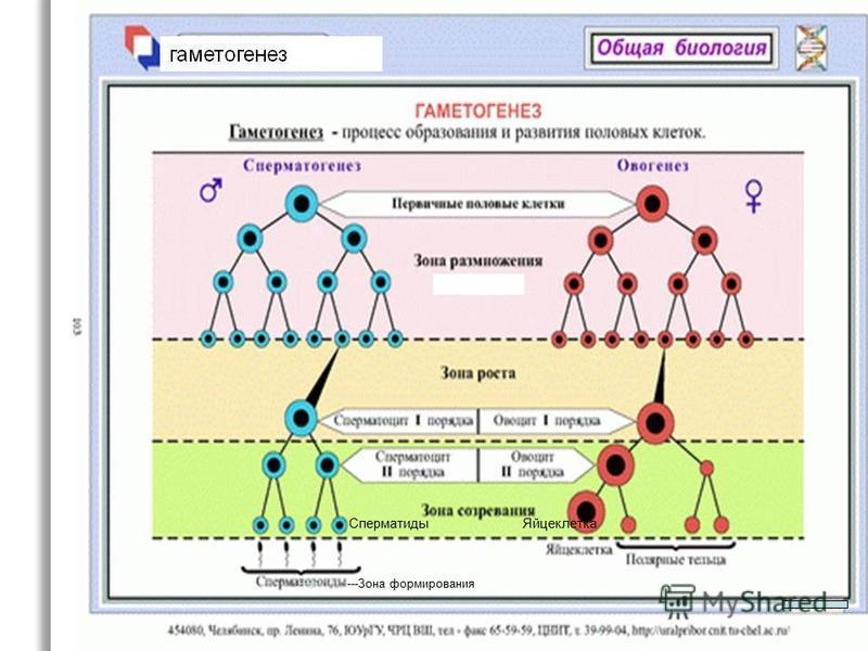 ---Зона формирования Яйцеклетка Сперматиды