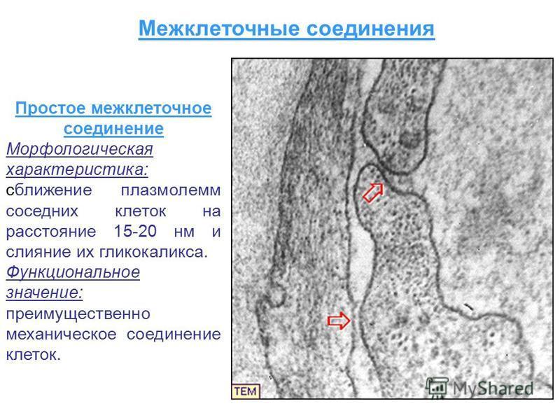 Простое межклеточное соединение Морфологическая характеристика: сближение плазмолемм соседних клеток на расстояние 15-20 нм и слияние их гликокаликса. Функциональное значение: преимущественно механическое соединение клеток. Межклеточные соединения