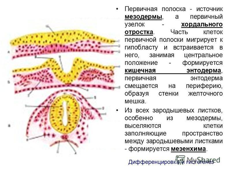 Первичная полоска - источник мезодермы, а первичный узелок - хордального отростка. Часть клеток первичной полоски мигрирует к гипобласту и встраивается в него, занимая центральное положение - формируется кишечная энтодерма, первичная энтодерма смещае