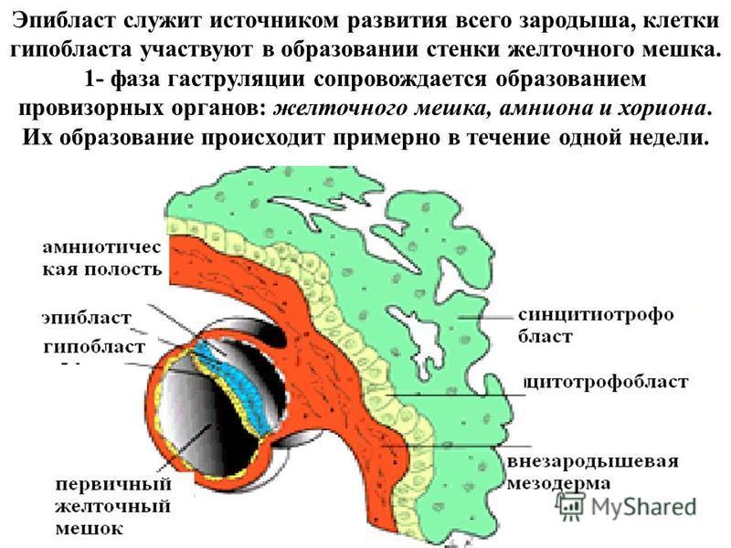 Эпибласт служит источником развития всего зародыша, клетки гипобласта участвуют в образовании стенки желточного мешка. 1- фаза гаструляции сопровождается образованием провизорных органов: желточного мешка, амниона и хориона. Их образование происходит
