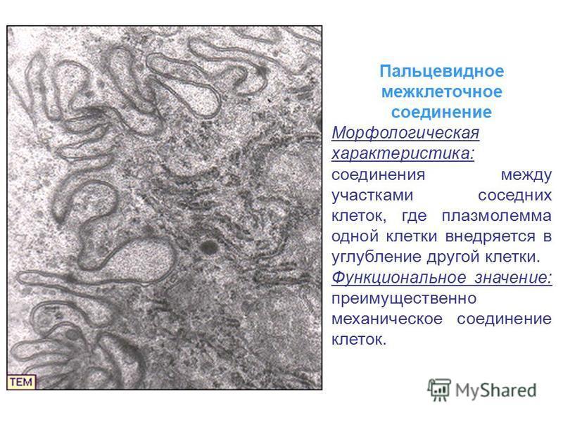 Пальцевидное межклеточное соединение Морфологическая характеристика: соединения между участками соседних клеток, где плазмолемма одной клетки внедряется в углубление другой клетки. Функциональное значение: преимущественно механическое соединение клет