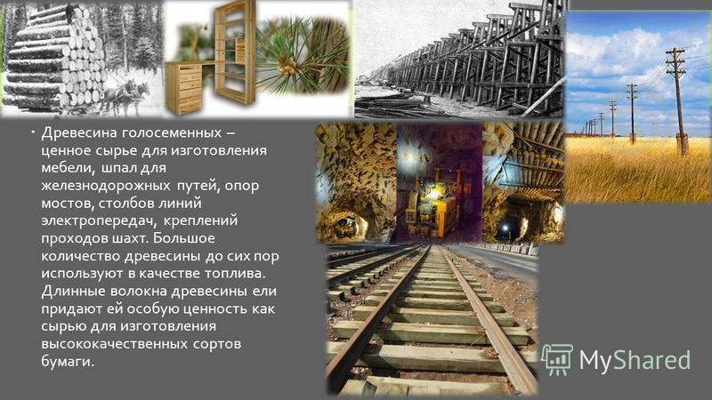 Древесина голосеменных – ценное сырье для изготовления мебели, шпал для железнодорожных путей, опор мостов, столбов линий электропередач, креплений проходов шахт. Большое количество древесины до сих пор используют в качестве топлива. Длинные волокна