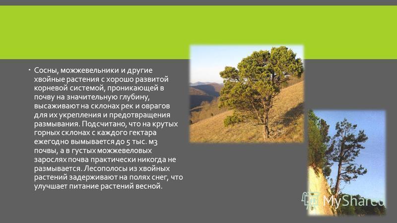 Сосны, можжевельники и другие хвойные растения с хорошо развитой корневой системой, проникающей в почву на значительную глубину, высаживают на склонах рек и оврагов для их укрепления и предотвращения размывания. Подсчитано, что на крутых горных склон