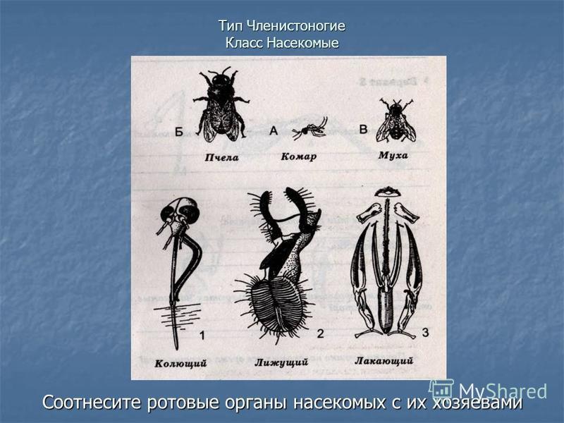 Тип Членистоногие Класс Насекомые Соотнесите ротовые органы насекомых с их хозяевами