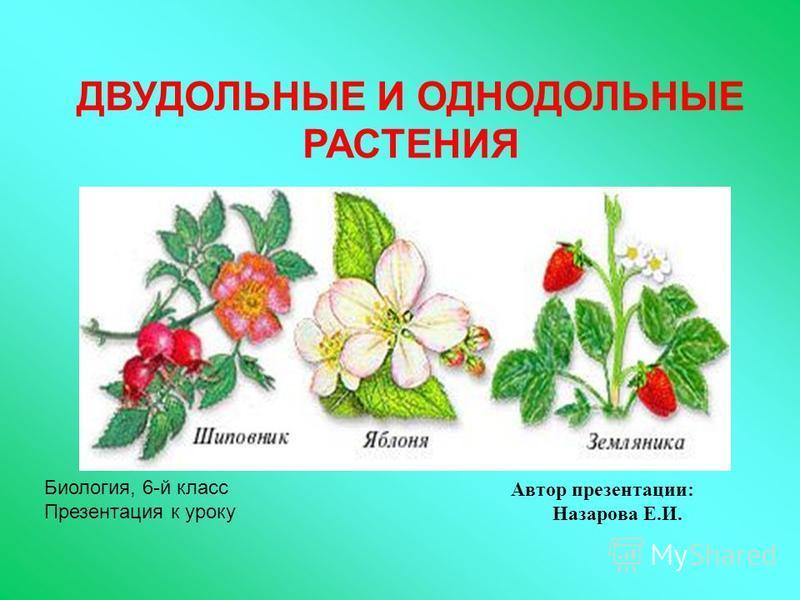 Автор презентации: Назарова Е.И. Биология, 6-й класс Презентация к уроку ДВУДОЛЬНЫЕ И ОДНОДОЛЬНЫЕ РАСТЕНИЯ