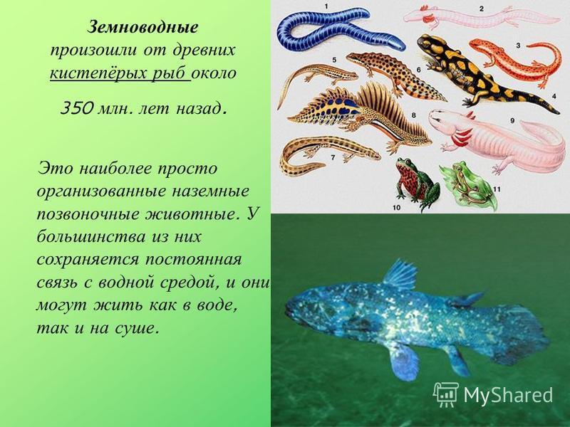 Земноводные произошли от древних кистепёрых рыб около 350 млн. лет назад. Это наиболее просто организованные наземные позвоночные животные. У большинства из них сохраняется постоянная связь с водной средой, и они могут жить как в воде, так и на суше.