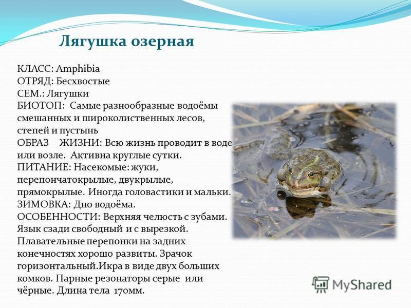 Лягушка озерная КЛАСС: Amphibia ОТРЯД: Бесхвостые СЕМ.: Лягушки БИОТОП: Самые разнообразные водоёмы смешанных и широколиственных лесов, степей и пустынь ОБРАЗ ЖИЗНИ: Всю жизнь проводит в воде или возле. Активна круглые сутки. ПИТАНИЕ: Насекомые: жуки