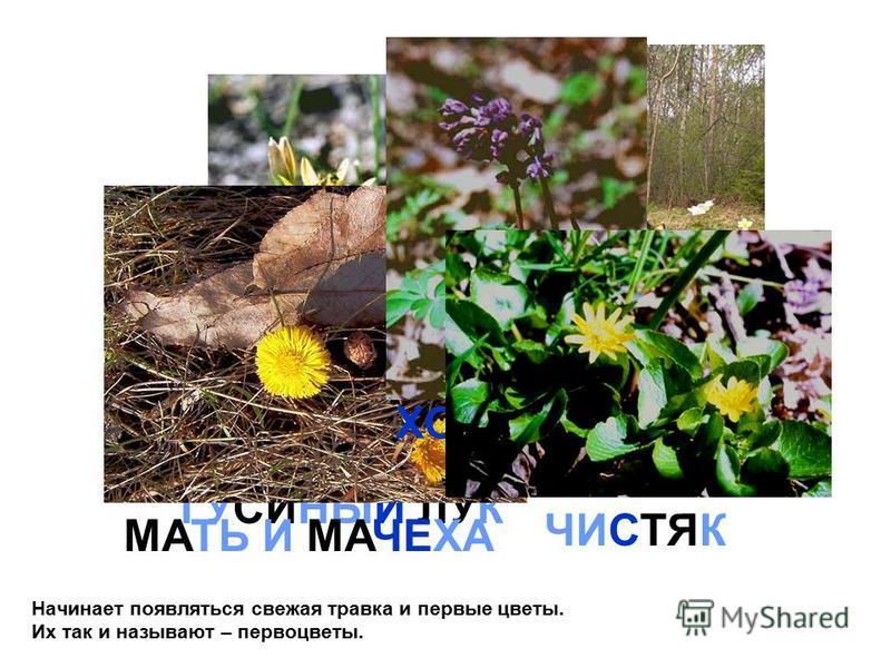 ВЕТРИНИЦА ГУСИНЫЙ ЛУК МАТЬ И МАЧЕХА ХОХЛАТКА Начинает появляться свежая травка и первые цветы. Их так и называют – первоцветы. ЧИСТЯК