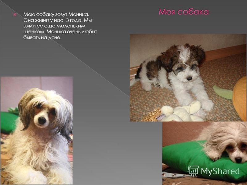 Мою собаку зовут Моника. Она живет у нас 3 года. Мы взяли ее еще маленьким щенком. Моника очень любит бывать на даче.