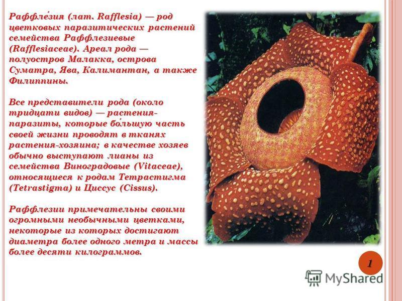 Раффлезия (лат. Rafflesia) род цветковых паразитических растений семейства Раффлезиевые (Rafflesiaceae). Ареал рода полуостров Малакка, острова Суматра, Ява, Калимантан, а также Филиппины. Все представители рода (около тридцати видов) растения- параз