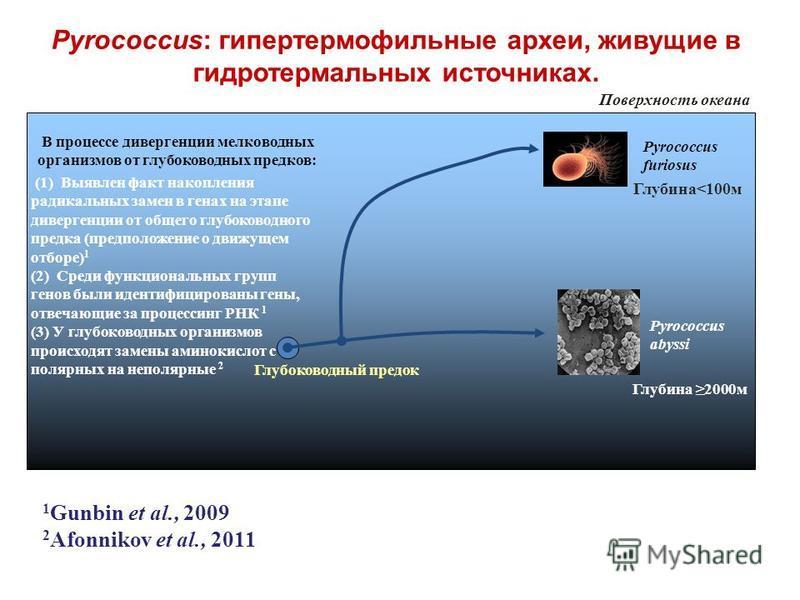 Pyrococcus furiosus Глубина 2000 м Поверхность океана Глубина<100 м Pyrococcus abyssi Глубоководный предок (1) Выявлен факт накопления радикальных замен в генах на этапе дивергенции от общего глубоководного предка (предположение о движущем отборе) 1