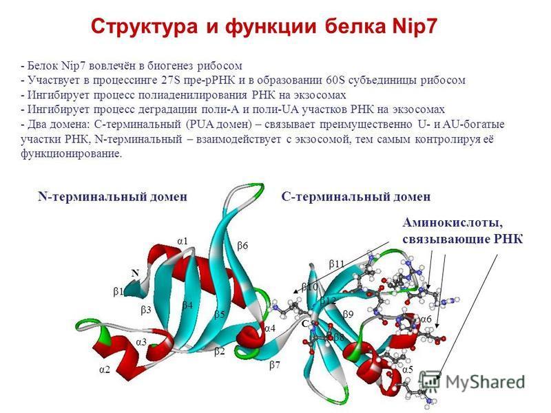 Структура и функции белка Nip7 - Белок Nip7 вовлечён в биогенез рибосом - Участвует в процессинге 27S пре-рРНК и в образовании 60S субъединицы рибосом - Ингибирует процесс полиаденилирования РНК на экзостомах - Ингибирует процесс деградации поли-А и