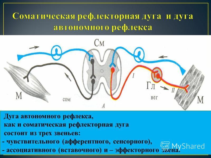 Дуга автономного рефлекса, как и соматическая рефлекторная дуга состоит из трех звеньев: - чувствительного (афферентного, сенсорного), - ассоциативного (вставочного) и – эффекторного звена.