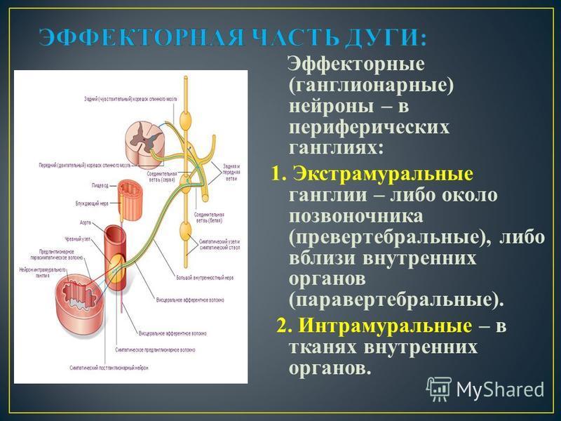 Эффекторные (ганглионарные) нейроны – в периферических ганглиях: 1. Экстрамуральные ганглии – либо около позвоночника (паравертебральные), либо вблизи внутренних органов (паравертебральные). 2. Интрамуральные – в тканях внутренних органов.