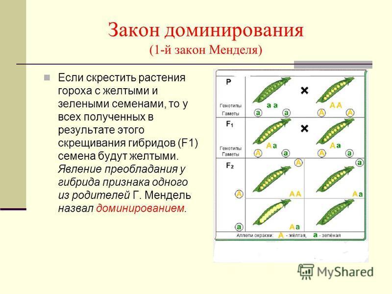Закон доминирования (1-й закон Менделя) Если скрестить растения гороха с желтыми и зелеными семенами, то у всех полученных в результате этого скрещивания гибридов (F1) семена будут желтыми. Явление преобладания у гибрида признака одного из родителей