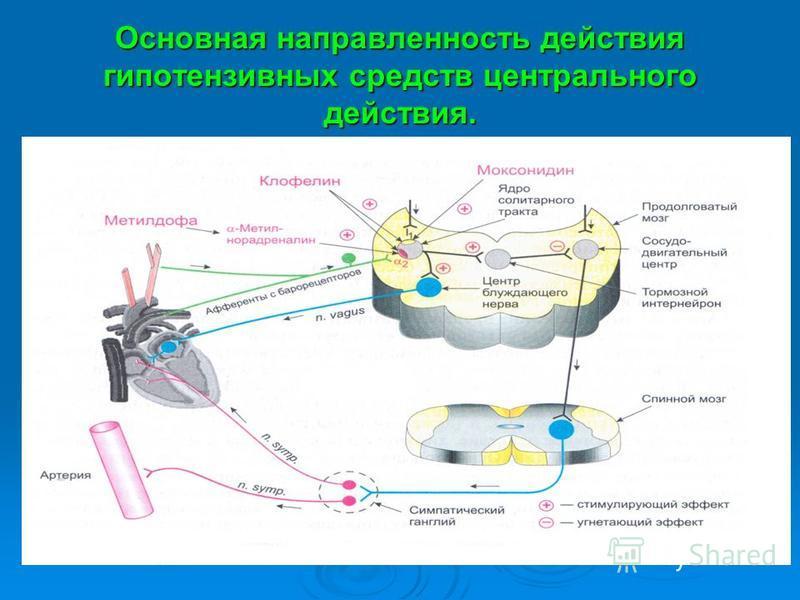 Основная направленность действия гипотензивных средств центрального действия.