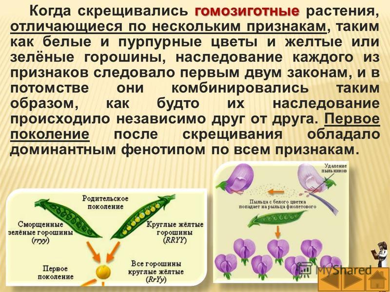 гомозиготные Когда скрещивались гомозиготные растения, отличающиеся по нескольким признакам, таким как белые и пурпурные цветы и желтые или зелёные горошины, наследование каждого из признаков следовало первым двум законам, и в потомстве они комбиниро