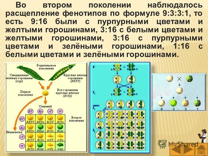 Во втором поколении наблюдалось расщепление фенотипов по формуле 9:3:3:1, то есть 9:16 были с пурпурными цветами и желтыми горошинами, 3:16 с белыми цветами и желтыми горошинами, 3:16 с пурпурными цветами и зелёными горошинами, 1:16 с белыми цветами