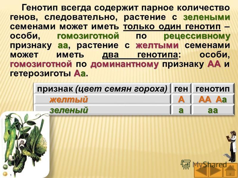 зелеными гомозиготнойрецессивному aaжелтыми гомозиготнойдоминантномуAA Aa Генотип всегда содержит парное количество генов, следовательно, растение с зелеными семенами может иметь только один генотип – особи, гомозиготной по рецессивному признаку aa,
