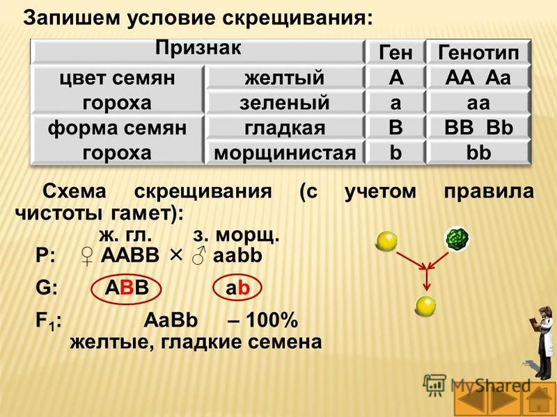 Запишем условие скрещивания: Схема скрещивания (с учетом правила чистоты гамет ): ж. гл. з. морщ. Р: ААВВ ааbb G: АВВ аb F 1 : АаBb – 100% желтые, гладкие семена