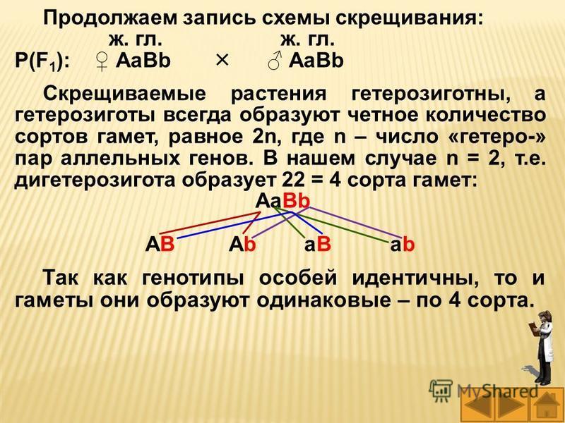 Продолжаем запись схемы скрещивания: ж. гл. ж. гл. Р(F 1 ): АаВb АаВb Скрещиваемые растения гетерозиготны, а гетерозиготы всегда образуют четное количество сортов гамет, равное 2n, где n – число «гетеро-» пар аллельных генов. В нашем случае n = 2, т.