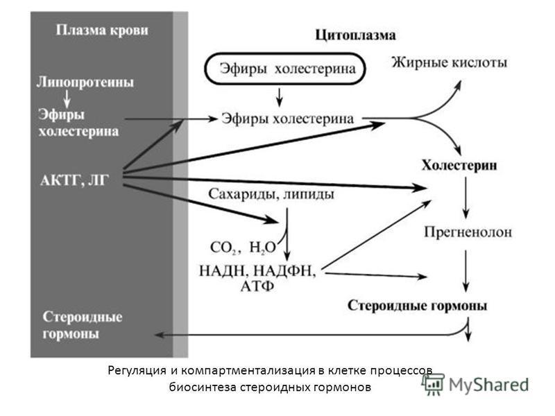 Регуляция и компартментализация в клетке процессов биосинтеза стероидных гормонов