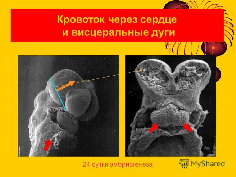Кровоток через сердце и висцеральные дуги 24 сутки эмбриогенеза