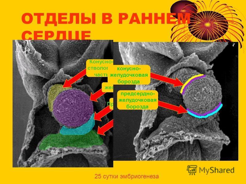 ОТДЕЛЫ В РАННЕМ СЕРДЦЕ венозный синус Предсердие желудочек Конусно- стволовая часть предсердно- желудочковая борозда конусно- желудочковая борозда 25 сутки эмбриогенеза