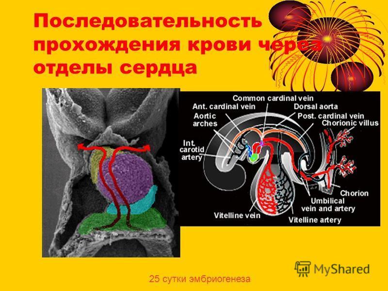Последовательность прохождения крови через отделы сердца 25 сутки эмбриогенеза