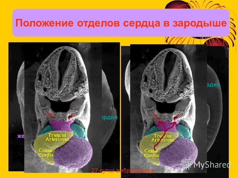 Положение отделов сердца в зародыше предсердия предсердия желудочек желудочек 27 сутки эмбриогенеза