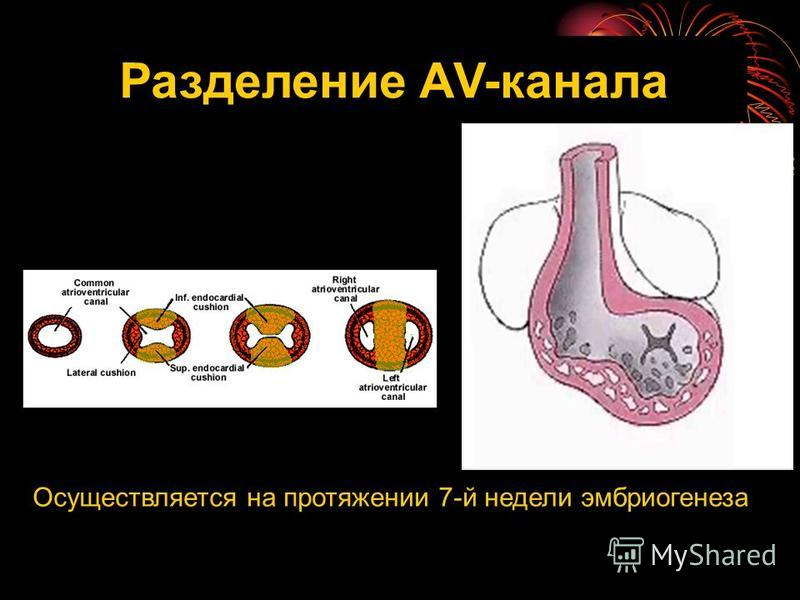 Разделение АV-канала Осуществляется на протяжении 7-й недели эмбриогенеза