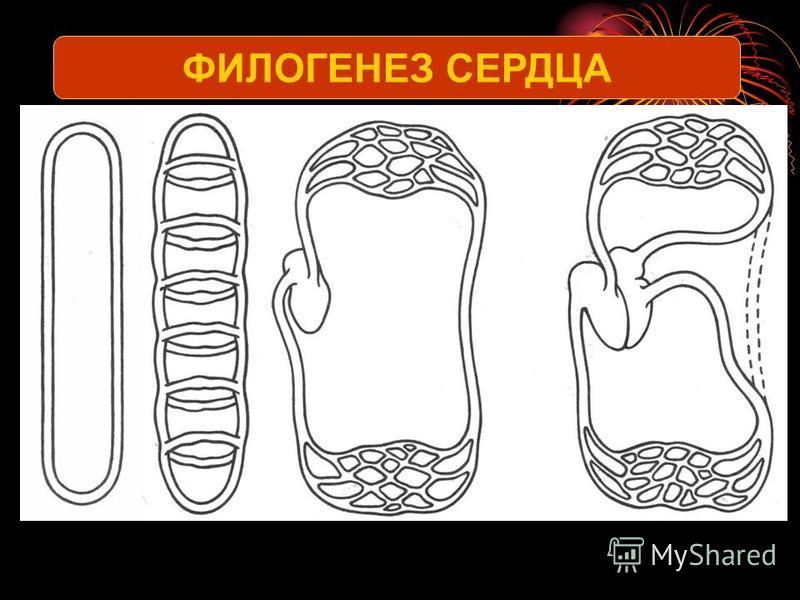 ФИЛОГЕНЕЗ СЕРДЦА