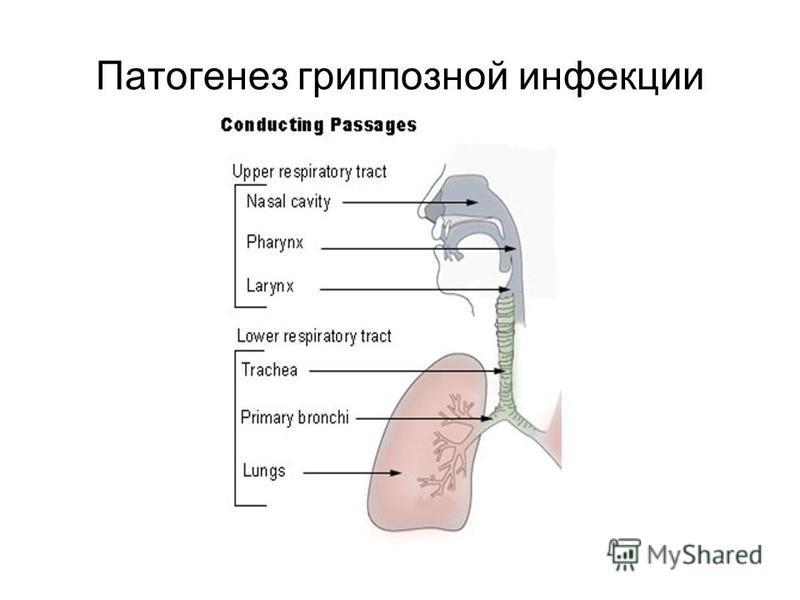 Патогенез гриппозной инфекции