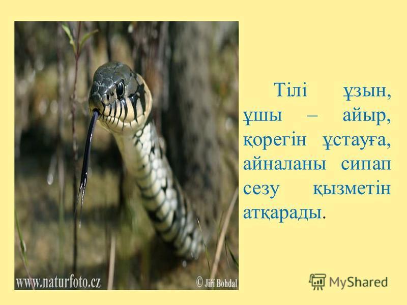 Тілі ұзын, ұшы – айыр, қорегін ұстауға, айналаны сипап сезу қызметін атқарады.