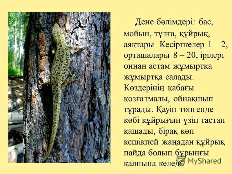 Дене бөлімдері: бас, мойын, тұлға, құйрық, аяқтары Кесірткелер 12, орташалары 8 – 20, ірілері оннан астам жұмыртқа жұмыртқа салады. Көздерінің қабағы қозғалмалы, ойнақшып тұрады. Қауіп төнгенде көбі құйрығын үзіп тастап қашады, бірақ көп кешікпей жаң