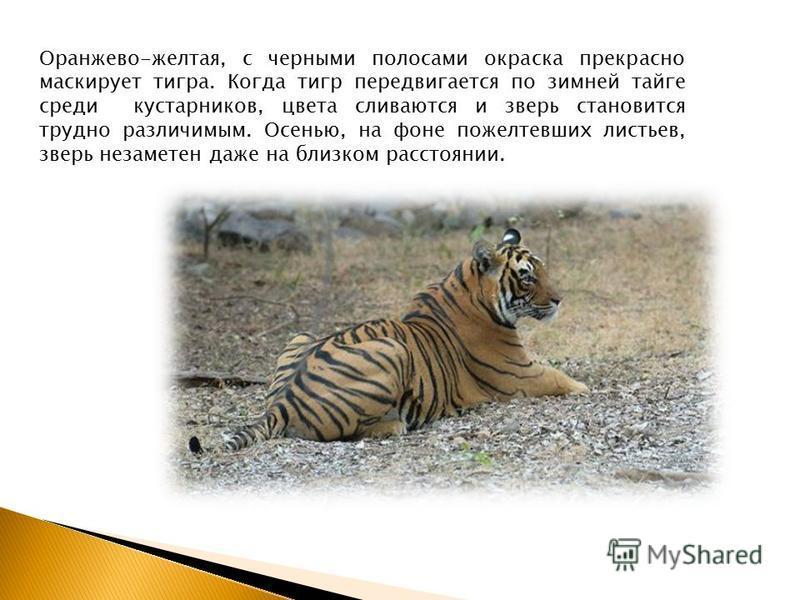 Оранжево-желтая, с черными полосами окраска прекрасно маскирует тигра. Когда тигр передвигается по зимней тайге среди кустарников, цвета сливаются и зверь становится трудно различимым. Осенью, на фоне пожелтевших листьев, зверь незаметен даже на близ