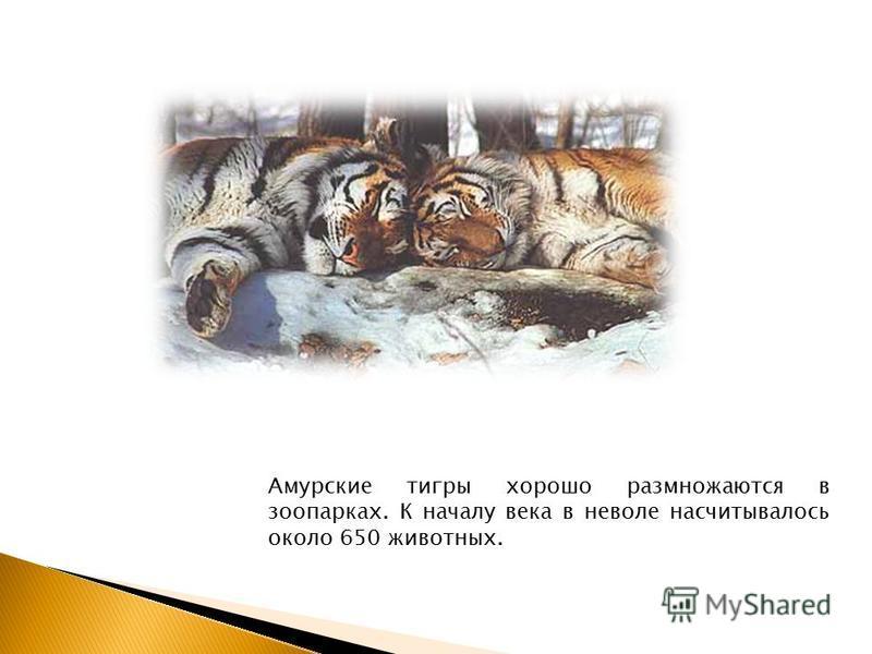 Амурские тигры хорошо размножаются в зоопарках. К началу века в неволе насчитывалось около 650 животных.