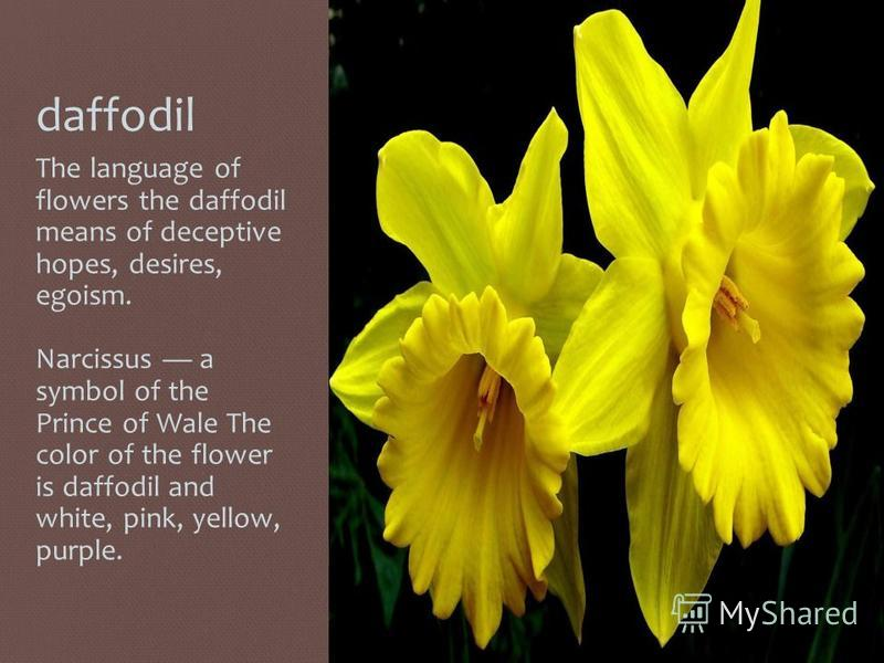 daffodil The language of flowers the daffodil means of deceptive hopes, desires, egoism. Narcissus a symbol of the Prince of Wale The color of the flower is daffodil and white, pink, yellow, purple.