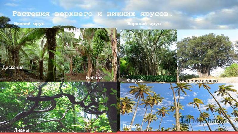 Растения верхнего и нижних ярусов. Нижний ярус Верхний ярус Лианы Дискония Бананы Пальмы Эбеновое дерево Фикусы