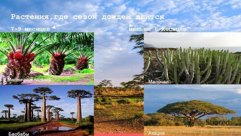 Растения,где сезон дождей длится 7-9 месяцев меньше 6 месяцев Баобабы Масличные пальмы Малочаи Акации