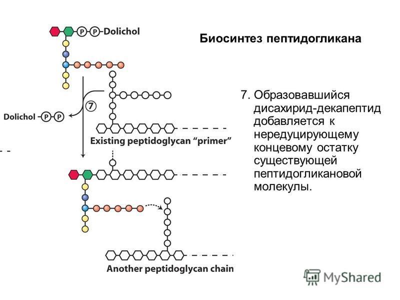 7. Образовавшийся дисахарид-декапептид добавляется к нередуцирующему концевому остатку существующей пептидогликановой молекулы. Биосинтез пептидогликана