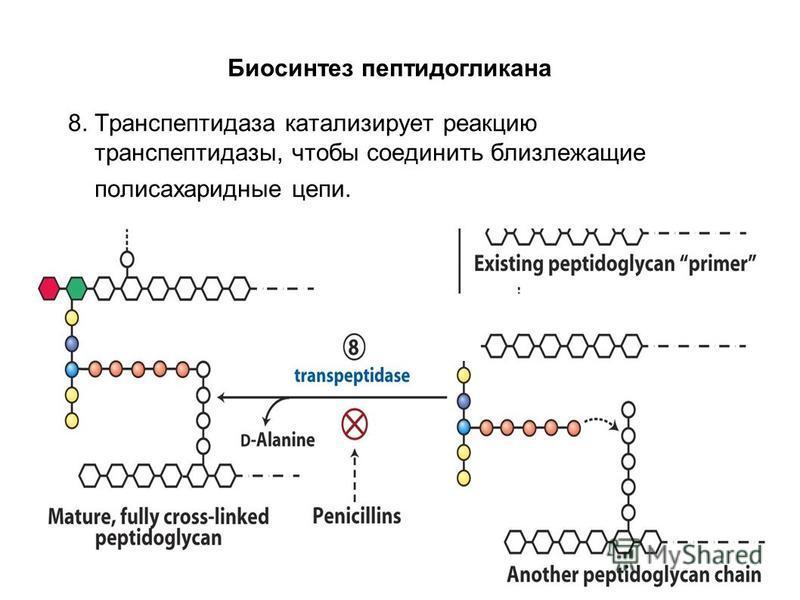 8. Транспептидаза катализирует реакцию транспептидазы, чтобы соединить близлежащие полисахаридные цепи. Биосинтез пептидогликана