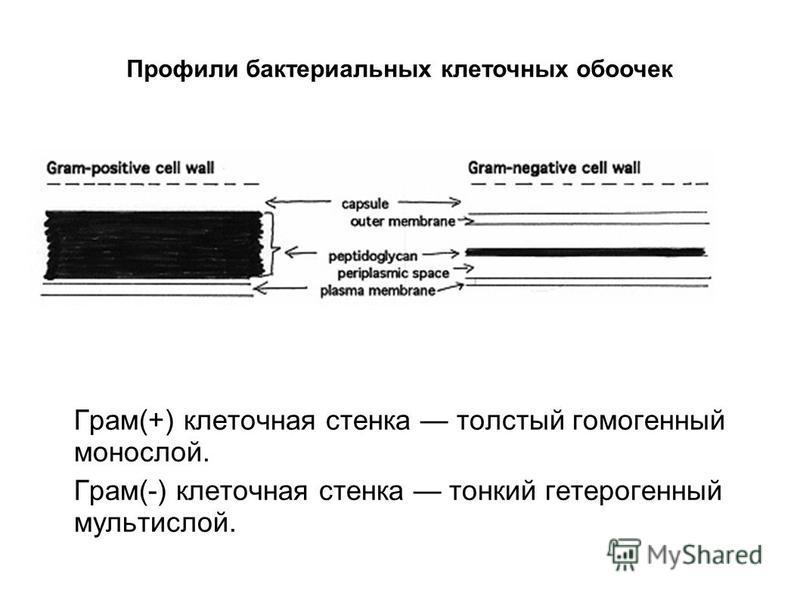 Грам(+) клеточная стенка толстый гомогенный монослой. Грам(-) клеточная стенка тонкий гетерогенный мульти слой. Профили бактериальных клеточных оболочек