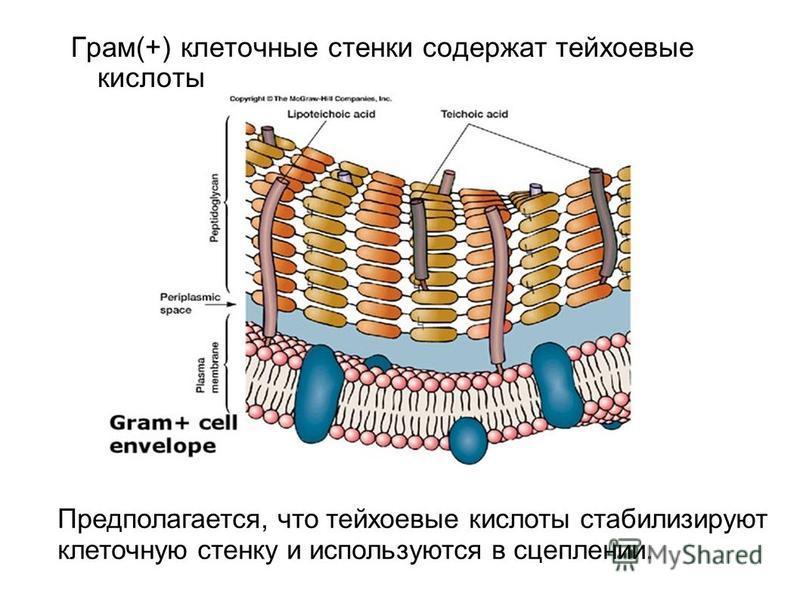 Грам(+) клеточные стенки содержат тейхоевые кислоты Предполагается, что тейхоевые кислоты стабилизируют клеточную стенку и используются в сцеплении.