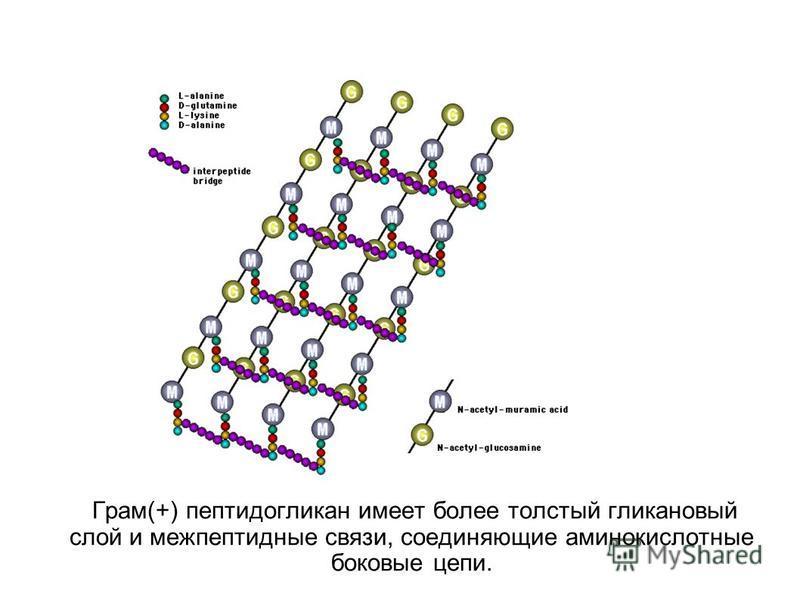 Грам(+) пептидогликан имеет более толстый глинка новый слой и меж пептидные связи, соединяющие аминокислотные боковые цепи.
