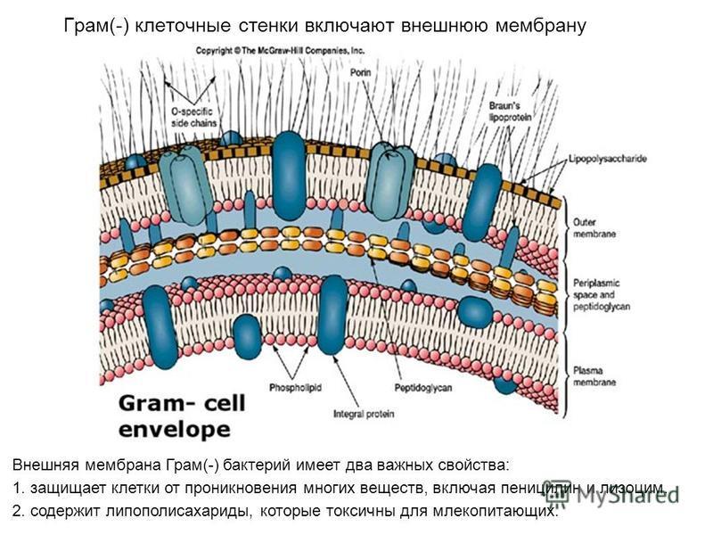 Грам(-) клеточные стенки включают внешнюю мембрану Внешняя мембрана Грам(-) бактерий имеет два важных свойства: 1. защищает клетки от проникновения многих веществ, включая пенициллин и лизоцим. 2. содержит липополисахариды, которые токсичны для млеко