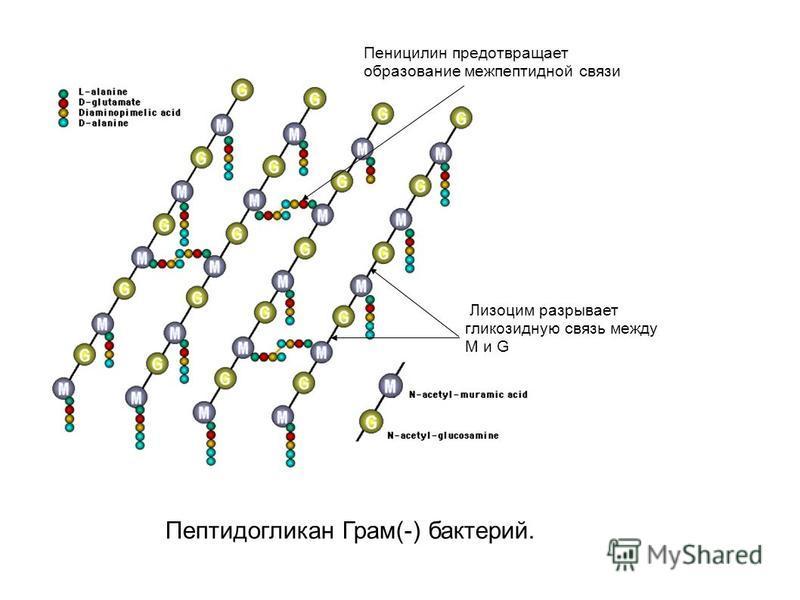 Пеницилин предотвращает образование меж пептидной связи Лизоцим разрывает гликозидную связь между M и G Пептидогликан Грам(-) бактерий.