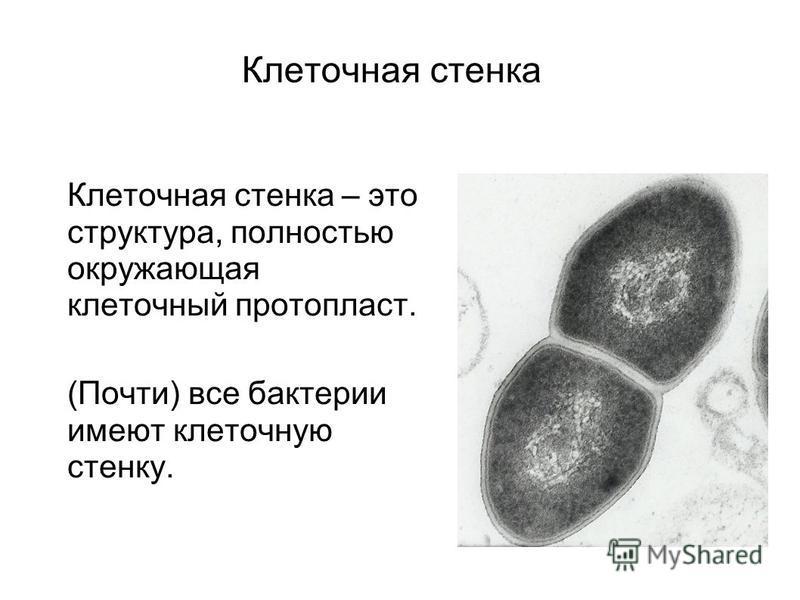 Клеточная стенка Клеточная стенка – это структура, полностью окружающая клеточный протопласт. (Почти) все бактерии имеют клеточную стенку.