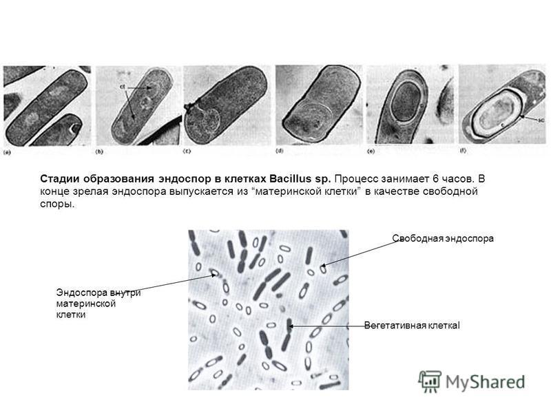 Стадии образования эндоспор в клетках Bacillus sp. Процесс занимает 6 часов. В конце зрелая эндоспора выпускается из материнской клетки в качестве свободной споры. Свободная эндоспора Вегетативная клеткаl Эндоспора внутри материнской клетки