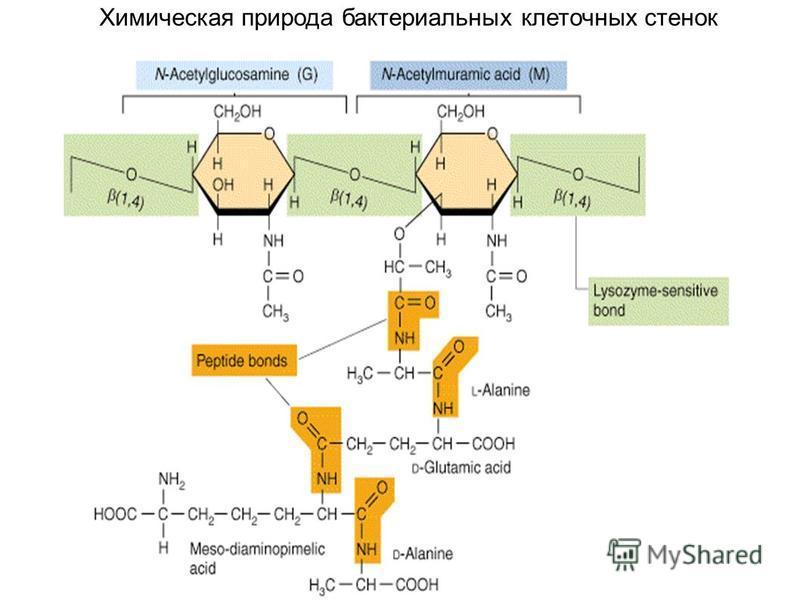 Химическая природа бактериальных клеточных стенок